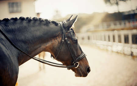 Portrait sports brown stallion in the bridle. The neck of a sports horse with a braided mane. Dressage of horses. Equestrian sport.