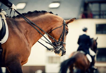 Equestrian sport. Portrait sports stallion in the double bridle. The neck of a sports horse with a braided mane. Dressage of horses in the arena.