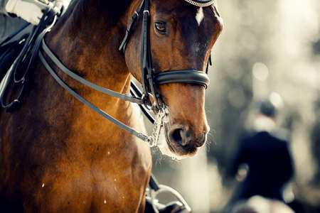 Equestrian sport. Portrait sports stallion in the double bridle. Horse muzzle close up. Dressage of horses in the arena.