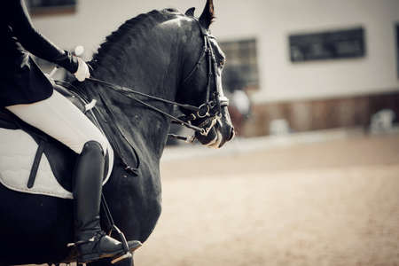 Equestrian sport. Portrait sports stallion in the double bridle. The leg of the rider in the stirrup, riding on a brown horse. Dressage of horses in the arena.