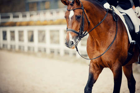Portrait sports red stallion in the double bridle. Dressage of horses. Equestrian sport. 版權商用圖片