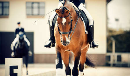 Equestrian sport. Portrait sports stallion in the double bridle. The legs of the rider in the stirrup, riding on a red horse. Dressage of horses in the arena.