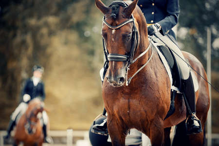 Equestrian sport. Portrait sports stallion in the double bridle. The legs of the rider in the stirrup, riding on a brown horse. Dressage of horses in the arena.
