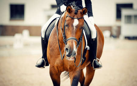 Portrait sports stallion in the double bridle. Stock Photo