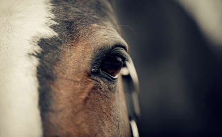 Eye of a brown horse with a white groove on the muzzle close-up.
