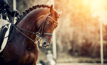 Equestrian sport. Portrait sports stallion in the double bridle. Horse muzzle close up. The neck of a sports horse with a braided mane. Dressage of horses in the arena. Horseback riding. Stock Photo