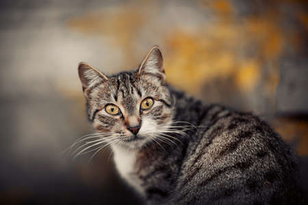 Portrait of a street homeless tabby cat with yellow eyes. Standard-Bild