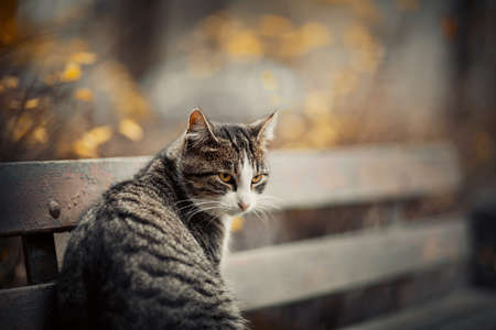 Portrait of a tabby cat with yellow eyes. Homeless street cat is sitting on a bench in the fall. A gray cat sits facing back.