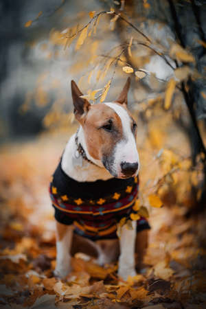English bullterrier in a sweater sitting on fallen leaves in autumn.