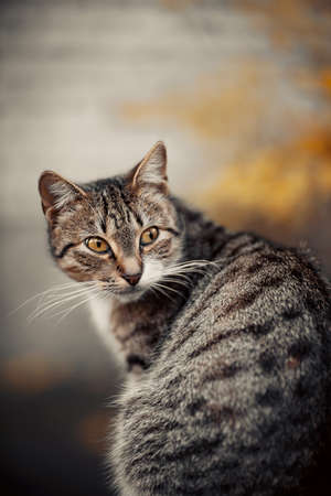 Portrait of a street homeless tabby cat with yellow eyes.