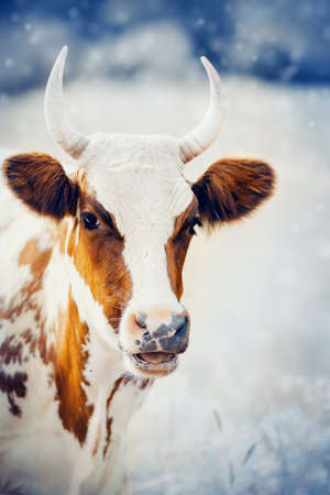 Portrait of a horned cow, white with red spots. Bull spotted colors. A portrait of a surprised cow.