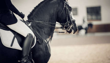 Equestrian sport. Portrait sports stallion in the double bridle. The leg of the rider in the stirrup, riding on a brown horse. Dressage of horses in the arena. Horseback riding.