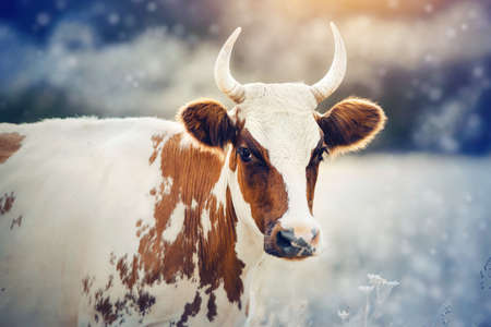Portrait of a horned cow, white with red spots. Bull spotted colors.