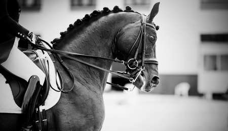 Equestrian sport The leg of the rider in the stirrup, riding on a brown horse. Dressage of horses in the arena. Portrait sports stallion in the double bridle. Horseback riding. Not color image.