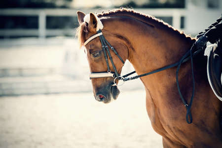 Portrait sports red stallion in the bridle. The neck of a sports horse with a braided mane. Dressage of horses. Equestrian sport. Horseback riding.