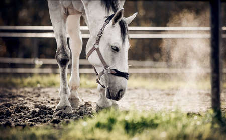 Portrait of a gray sports stallion with a dark mane in a halter. Sporty young horse gray color in a halter in the levada. Horse muzzle close up Standard-Bild