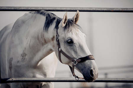 Portrait of a gray sports stallion with a dark mane in a halter. Sporty young horse gray color in a halter in the levada. Horse muzzle close up