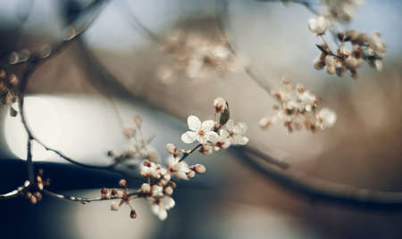 White flowers of cherry in a sunlight in the spring. Branches with white flowers.