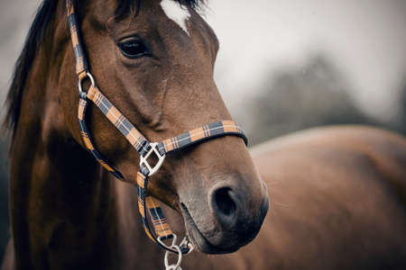 Portrait of a young sports horse with an asterisk on his forehead in a halter. Standard-Bild