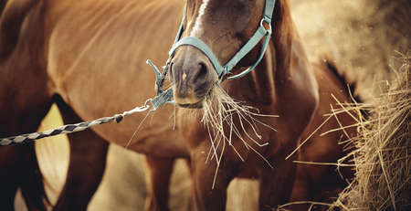 Red mare with a white groove on his forehead in a halter eating hay. Muzzle sports red horse in a halter. Standard-Bild