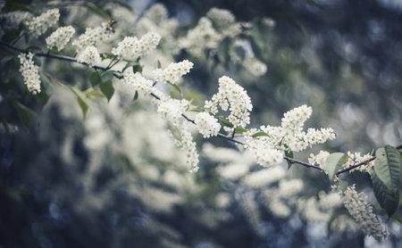 Branch of the blossoming bird cherry in the spring. Standard-Bild