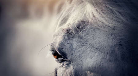 Gray horse's eye close-up. Portrait of a gray sports stallion in a halter. Sporty young horse gray color in a halter in the levada. Horse muzzle close up Standard-Bild
