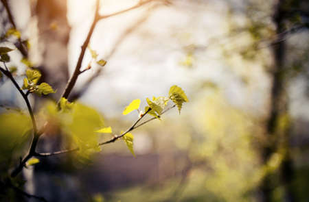 Background with green birch branches. The appearing leaves on birch branches in the spring. Blossoming buds on the branches of birch.