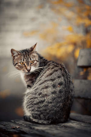 Homeless street cat is sitting on a bench in the fall. A gray tabby cat sits facing back. Standard-Bild