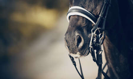 Nose sports horse in the bridle. Portrait stallion in the double bridle. Horse muzzle close up. Dressage horse. Equestrian sport.
