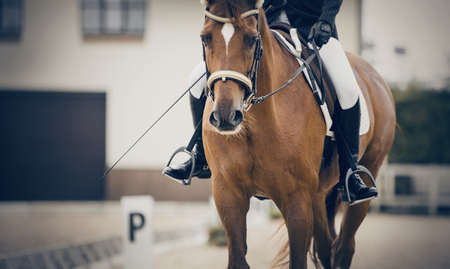 Equestrian sport. Portrait sports stallion in the bridle. The legs of the rider in the stirrup, riding on a red horse. Dressage of horses in the arena. Horseback riding. Standard-Bild