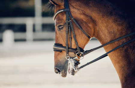 Portrait sports red stallion in the double bridle. Dressage of horses. Equestrian sport. Horseback riding.