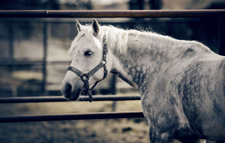 Portrait of a gray sports stallion in a halter. Sporty young horse gray color in a halter in the levada. Gray in apples the horse.