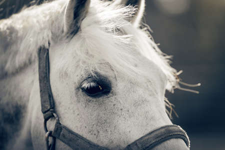 Gray horse's eye close-up. Horse muzzle close up. Portrait of a gray sports stallion in a halter. Sporty young horse gray color in a halter in the levada.