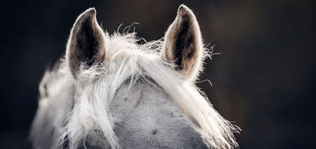 The ears and the horse's mane close up against a dark background. Sporty young horse gray color. Horse muzzle close up