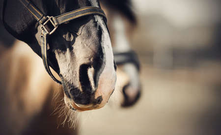The noses of horses in halters in the paddock. Sporty stallions brown color in a halter in the levada. Portrait of a young sports horse with a white groove on his muzzle. Horse muzzle close up