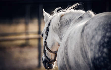 Sporty young horse gray color in a halter in the levada. Horse muzzle close up
