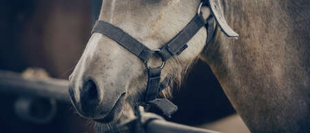 The nose of horse in halter in the paddock. Horse muzzle close up. Sporty stallions dun color in a halter in the levada. Standard-Bild
