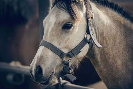 Portrait of a dun sports stallion with a dark mane in a halter. Sporty young horse dun color in a halter in the levada. Horse muzzle close up Standard-Bild
