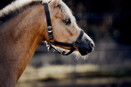Sporty young horse dun color in a halter in the levada. Portrait of a sports stallion. Horse muzzle close up