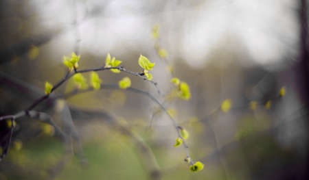 Background with green birch branches in the spring. The appearing leaves on birch branches. Standard-Bild