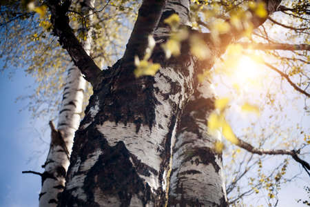 The trunk of a birch tree. Fresh spring leaves on the branches of a birch tree in the rays of the setting sun. Background with green birch branches. The appearing leaves on birch branches.
