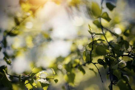 Fresh spring leaves on birch branches. Background with green birch branches. The appearing leaves on birch branches.