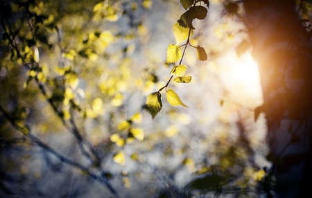 Fresh spring leaves on the branches of a birch tree in the rays of the setting sun. Background with green birch branches. The appearing leaves on birch branches.