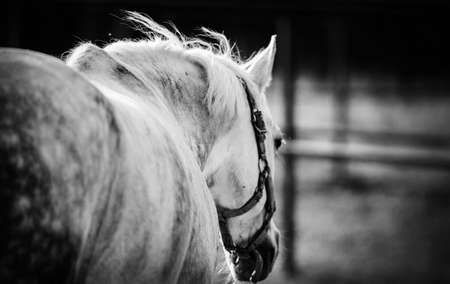 Sporty young horse gray color in a halter in the levada. Horse muzzle close up. Not color image. Black and white photo.