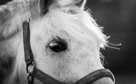 Gray horse's eye close-up. Horse muzzle close up. Portrait of a gray sports stallion in a halter. Sporty young horse gray color in a halter in the levada. Not color image. Black and white photo. Standard-Bild