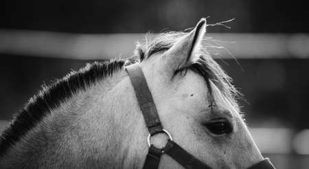 The ear, the mane and the horse's eye close up. Portrait of a gray sports stallion in a halter. Sporty young horse gray color in a halter in the levada. Horse muzzle close up. Black and white photo. Not color image.