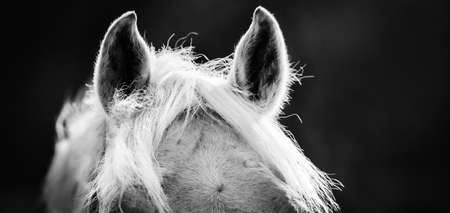 The ears and the horse's mane close up against a dark background. Sporty young horse gray color. Horse muzzle close up. Not color image. Black and white photo.