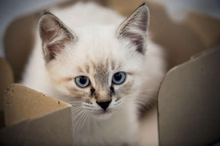 Portrait of a kitten with blue eyes. A small kitten in a cardboard box. Small cat.