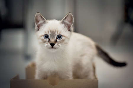 A small kitten with blue eyes in a cardboard box. Small cat.