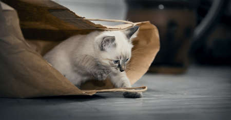 A small kitten is playing with a paper bag. Small cat.